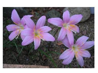 ピンクの花、.jpg
