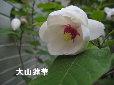 大山蓮華.jpg