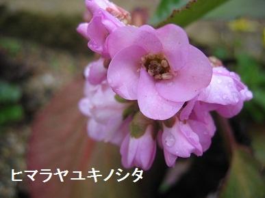 ヒマラヤユキノシタ.jpg
