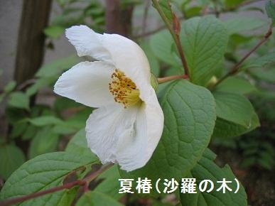 沙羅の木.jpg