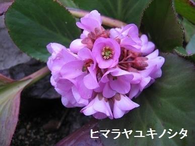 himarayayukinosita.jpg