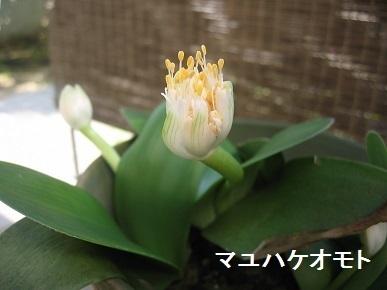 mayuhakeomoto.jpg